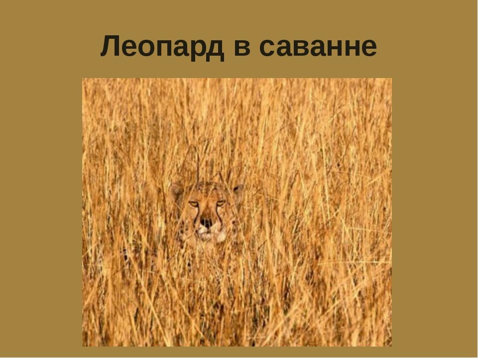 Леопард в саванне