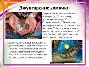 Джунгарские хомячки Джунгарские хомяки вырастают примерно до 10 см в длину, д