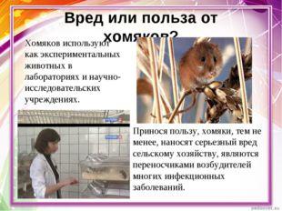 Вред или польза от хомяков? Хомяков используют как экспериментальных животных