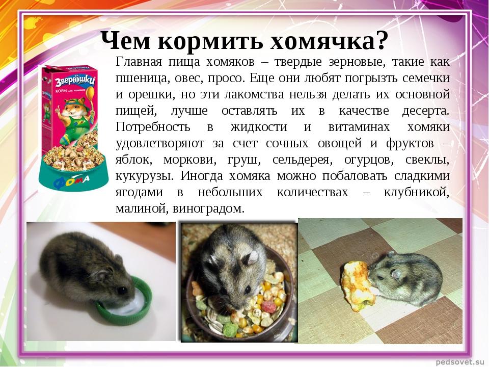 Чем нельзя кормить хомяков в домашних условиях