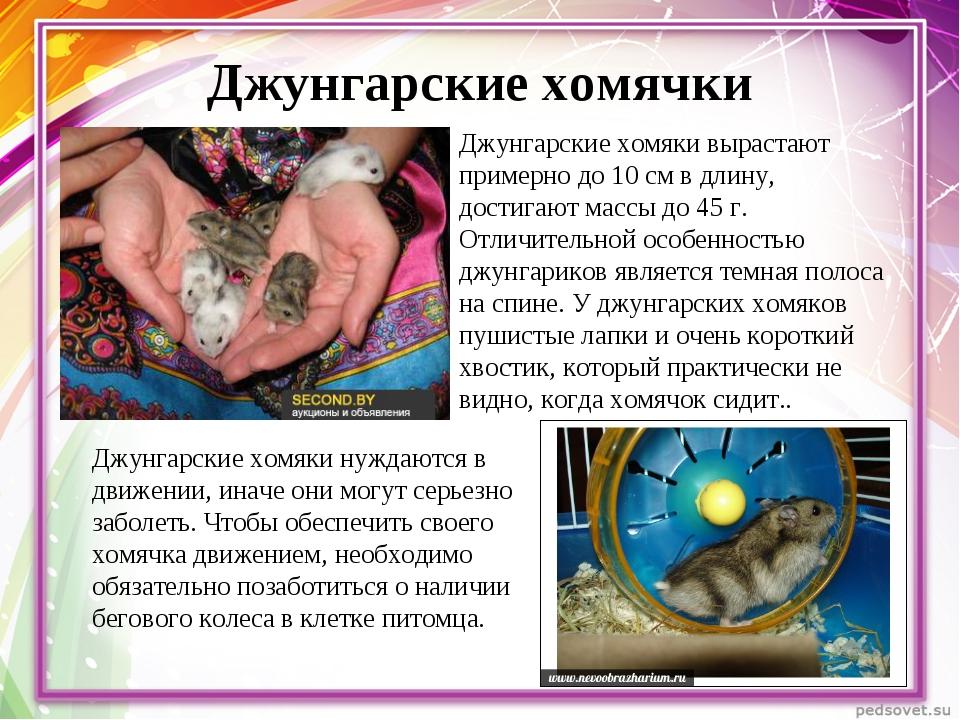 Джунгарские хомячки Джунгарские хомяки вырастают примерно до 10 см в длину, д...