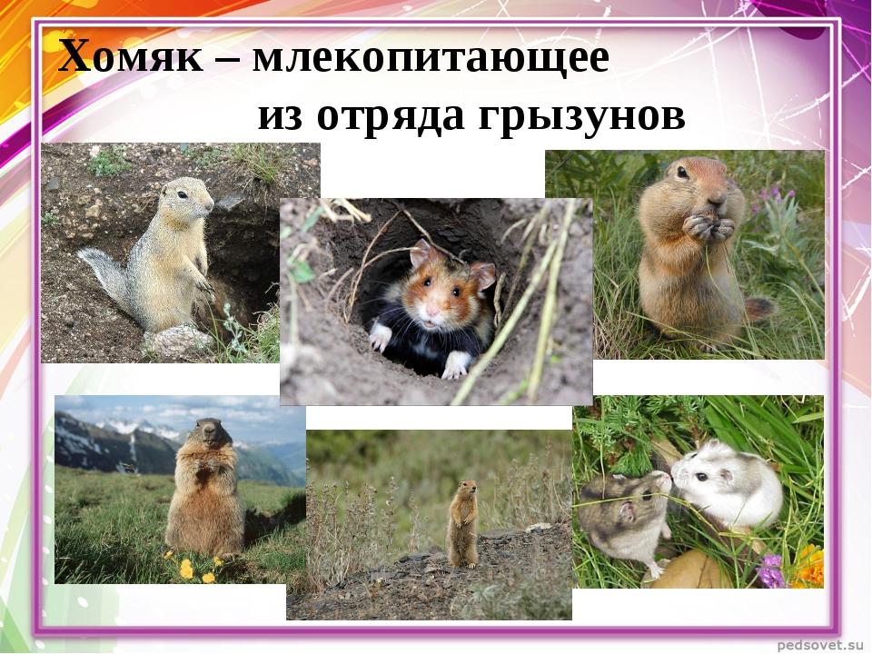 Хомяк – млекопитающее из отряда грызунов