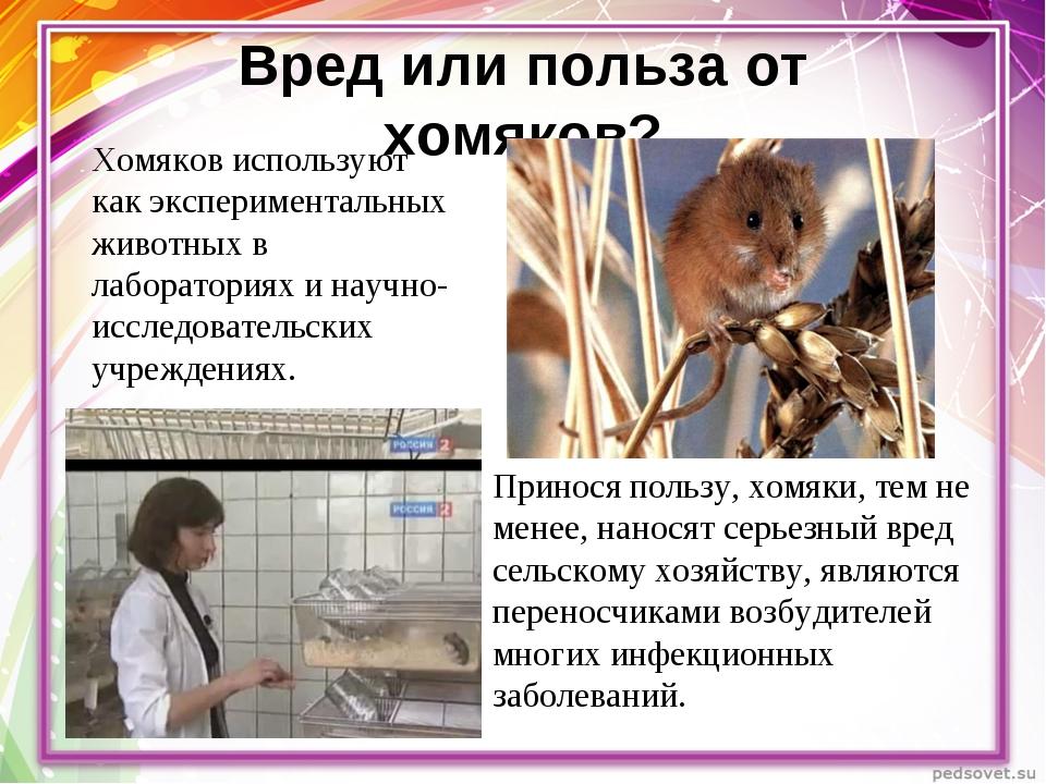 Вред или польза от хомяков? Хомяков используют как экспериментальных животных...