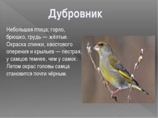 Небольшая птица; горло, брюшко, грудь — жёлтые. Окраска спинки, хвостового оп