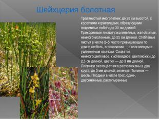 Травянистый многолетник до 25 см высотой, с короткими корневищами, образующим