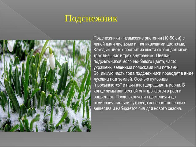 Подснежник Подснежники - невысокие растения (10-50 см) с линейными листьями и...