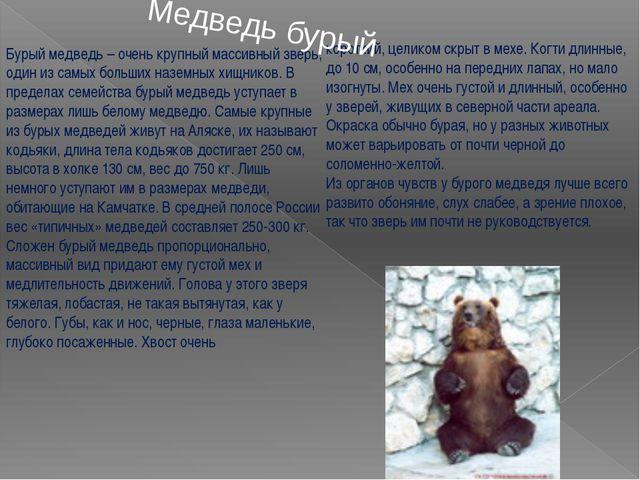 Бурый медведь – очень крупный массивный зверь, один из самых больших наземных...