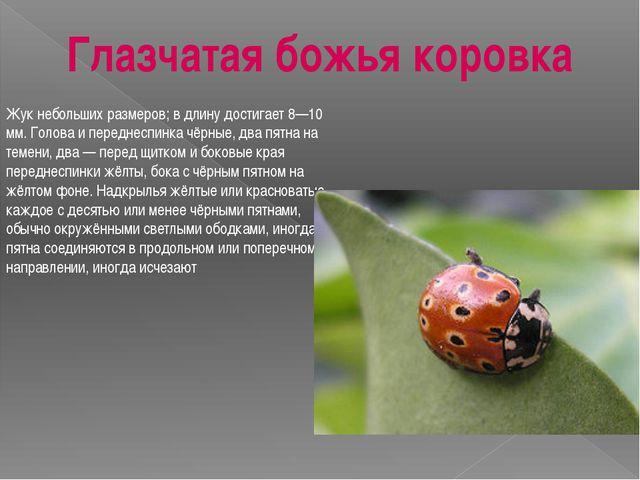 Жук небольших размеров; в длину достигает 8—10 мм. Голова и переднеспинка чёр...