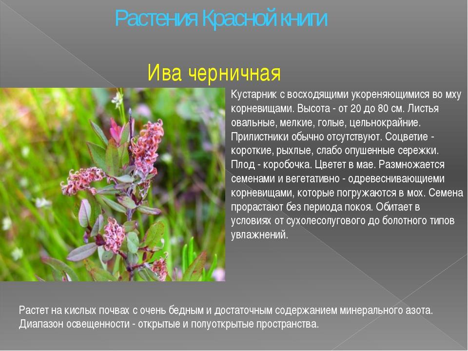 Растения Красной книги Ива черничная Кустарник с восходящими укореняющимися в...