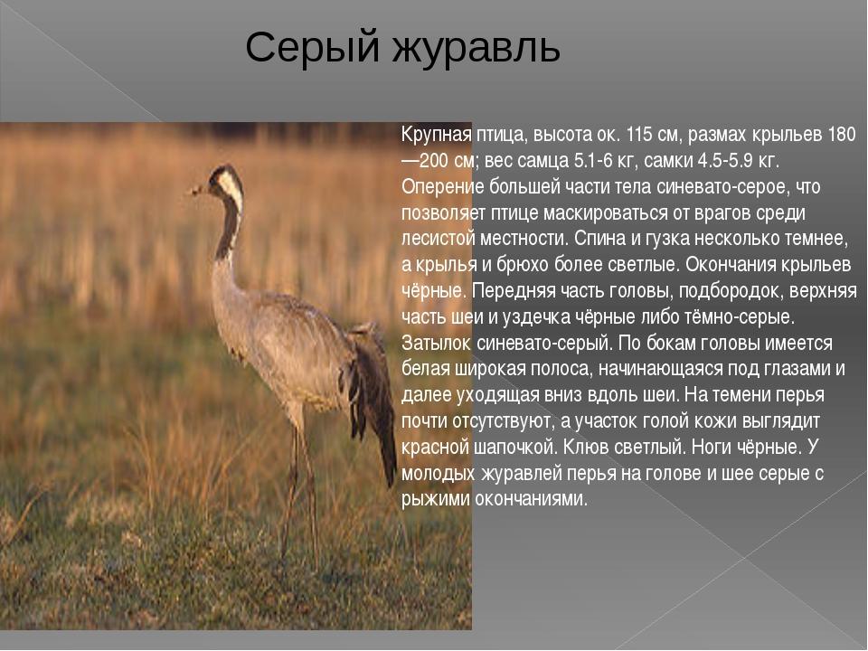 Крупная птица, высота ок. 115 см, размах крыльев 180—200 см; вес самца 5.1-6...
