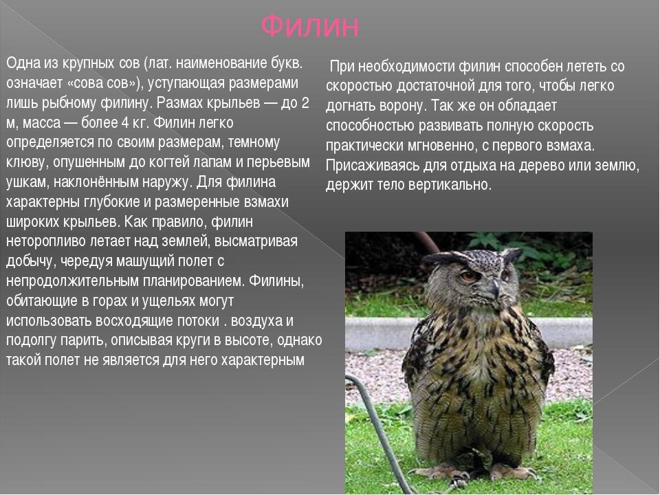 Одна из крупных сов (лат. наименование букв. означает «сова сов»), уступающая...
