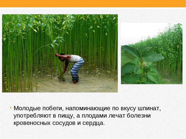Молодые побеги, напоминающие по вкусу шпинат, употребляют в пищу, а плодами л...