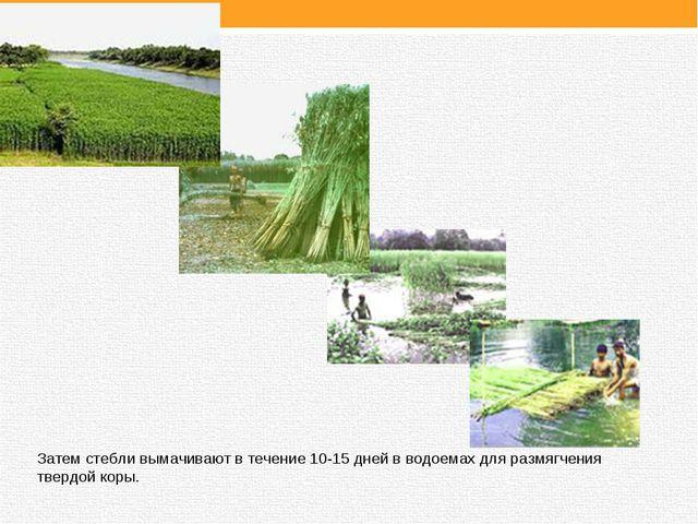Затем стебли вымачивают в течение 10-15 дней в водоемах для размягчения тверд...