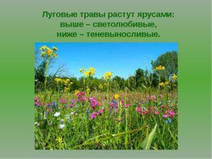 Луговые травы растут ярусами: выше – светолюбивые, ниже – теневыносливые.