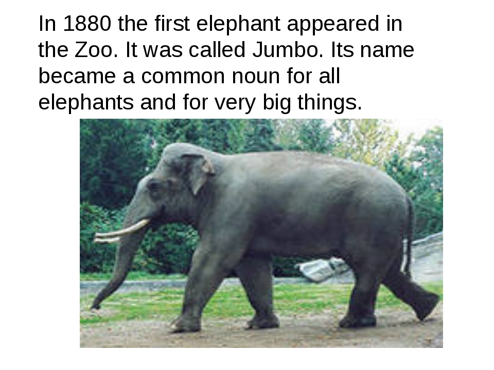 In 1880 the first elephant appeared in the Zoo. It was called Jumbo. Its name...