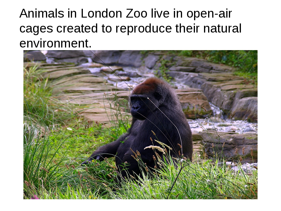 Animals in London Zoo live in open-air cages created to reproduce their natur...