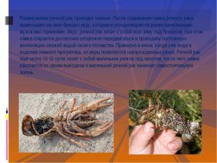 Размножение речной рак проводит осенью. После спаривания самка речного рака в