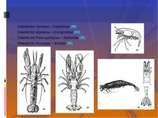 Семейство Чилимы – Pandalidae (88) Семейство Шримсы – Crangonidae (94) Семейс
