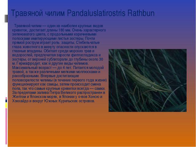 Травяной чилим Pandaluslatirostris Rathbun  Травяной чилим –– один из наибол...