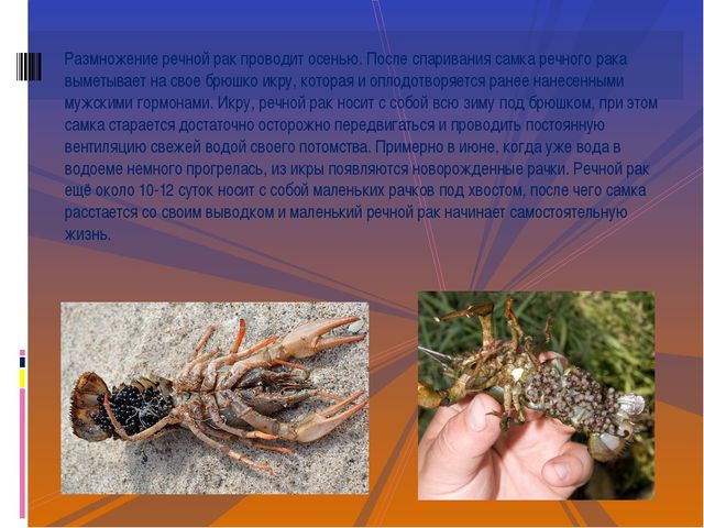 Размножение речной рак проводит осенью. После спаривания самка речного рака в...