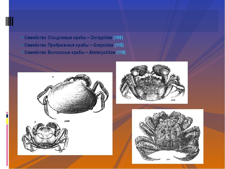 Семейство Стыдливые крабы – Dorippidae (106) Семейство Прибрежные крабы – Gra...