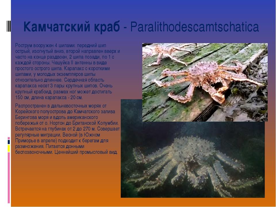 Камчатский краб- Paralithodescamtschatica Рострум вооружен 4 шипами: передни...