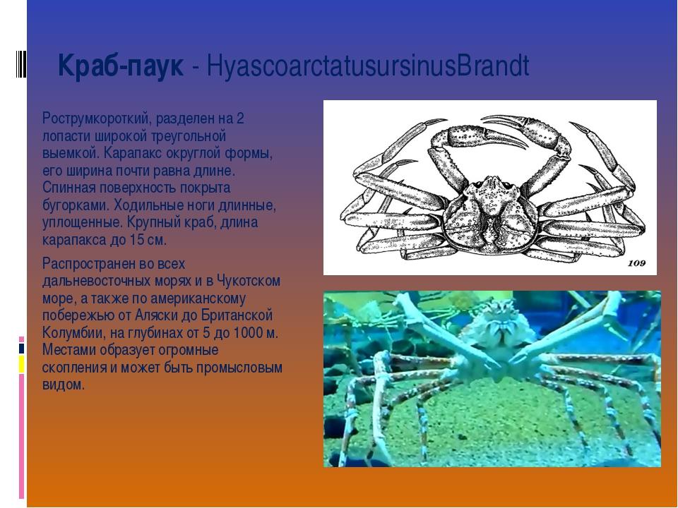 Краб-паук- HyascoarctatusursinusBrandt Рострумкороткий, разделен на 2 лопаст...