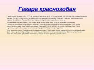 Гагара краснозобая Самая мелкая из гагар: вес 1,1—2,5кг, длина 53—69см, кры