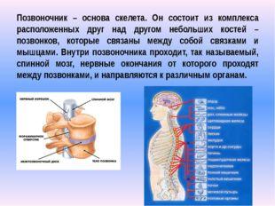 Позвоночник – основа скелета. Он состоит из комплекса расположенных друг над