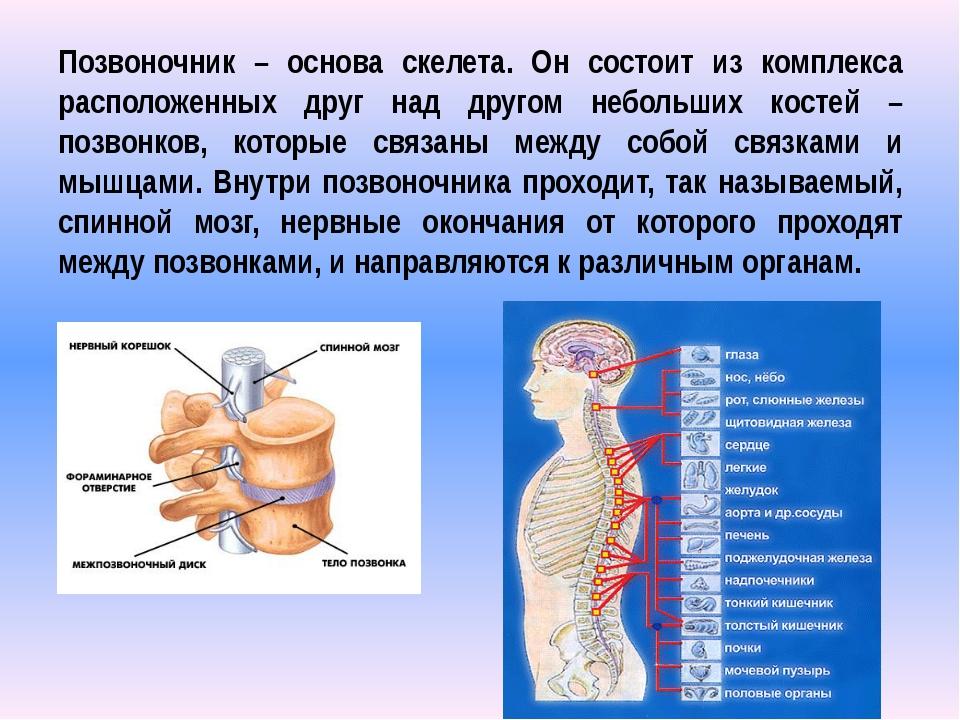 Позвоночник – основа скелета. Он состоит из комплекса расположенных друг над...