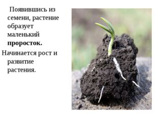 Появившись из семени, растение образует маленький проросток. Начинается рост
