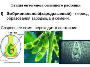 Этапы онтогенеза семенного растения Эмбриональный(зародышевый) - период образ