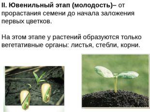II. Ювенильныйэтап (молодость)– от прорастания семени до начала заложения п