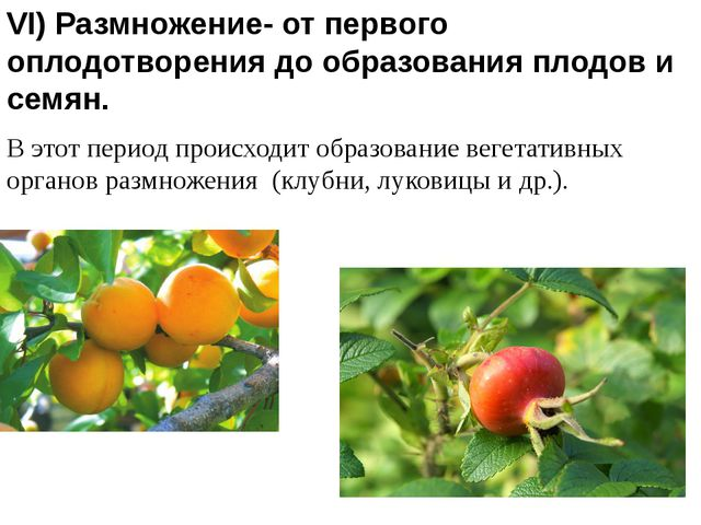 VI) Размножение- от первого оплодотворения до образования плодов и семян. В э...