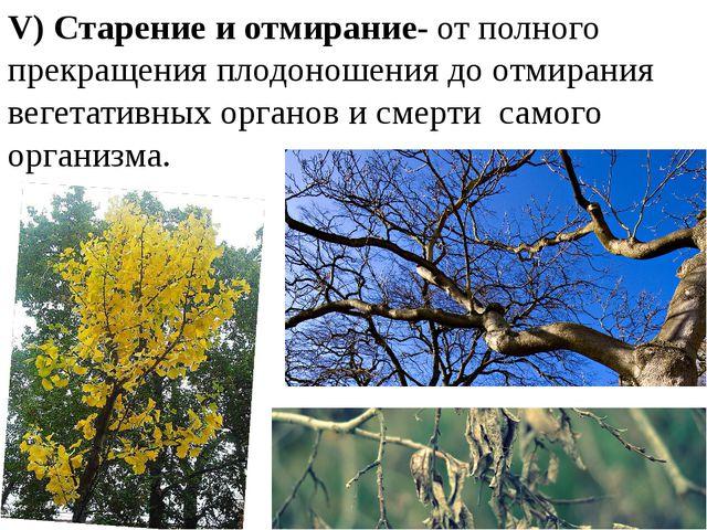 V) Старение и отмирание- от полного прекращения плодоношения до отмирания вег...