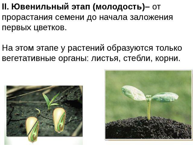II. Ювенильныйэтап (молодость)– от прорастания семени до начала заложения п...
