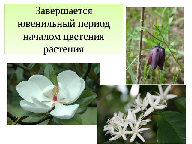 Завершается ювенильный период началом цветения растения