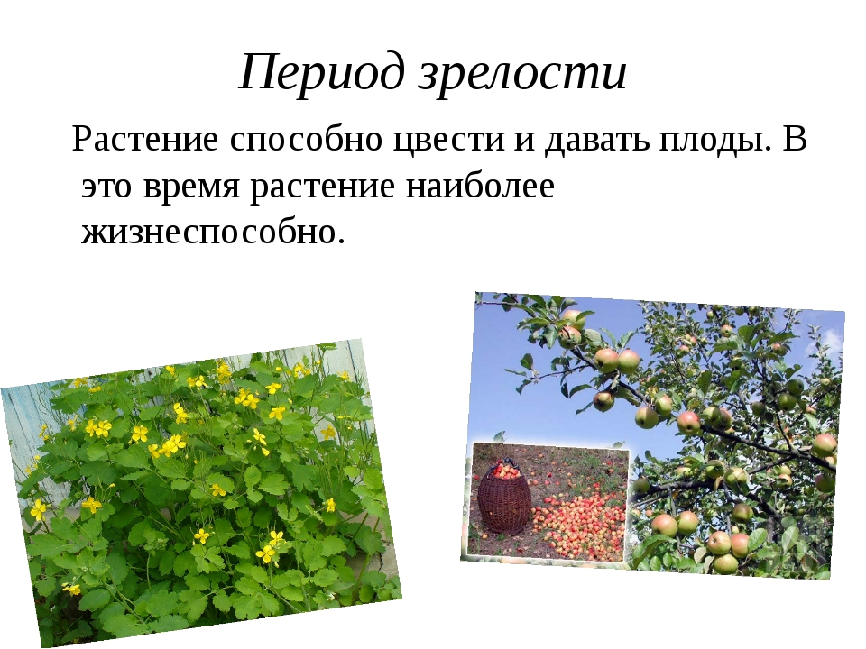 Период зрелости Растение способно цвести и давать плоды. В это время растение...