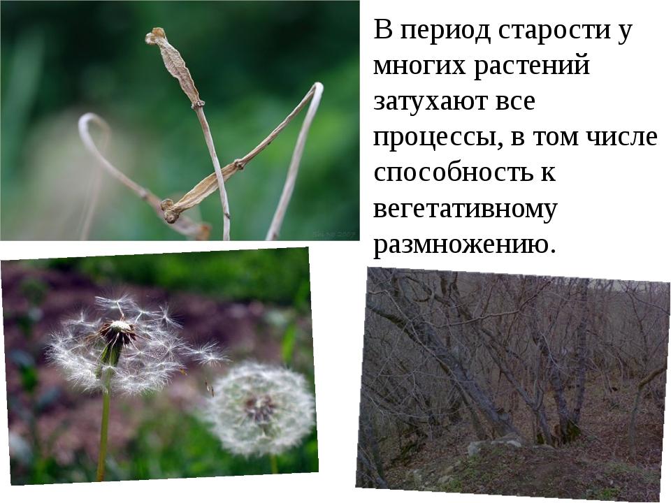 В период старости у многих растений затухают все процессы, в том числе способ...