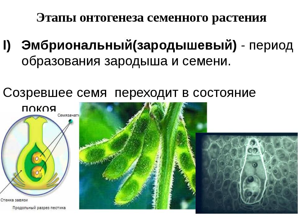 Этапы онтогенеза семенного растения Эмбриональный(зародышевый) - период образ...