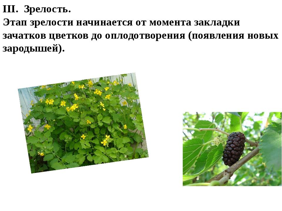 III. Зрелость. Этап зрелости начинается от момента закладки зачатков цветков...