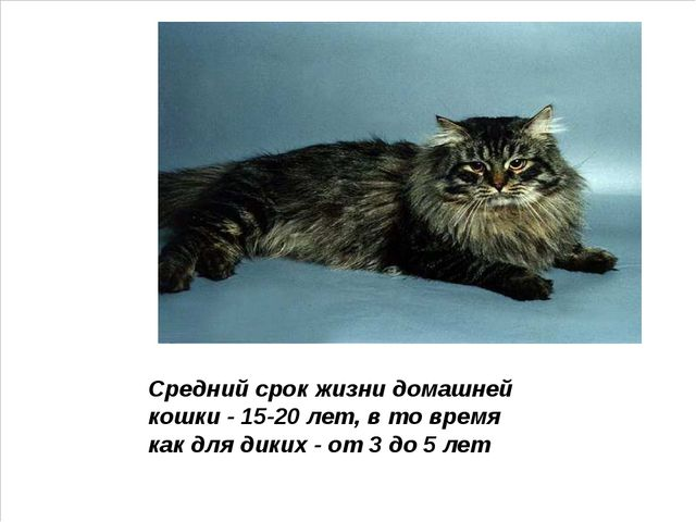 Средний срок жизни домашней кошки - 15-20 лет, в то время как для диких - от...