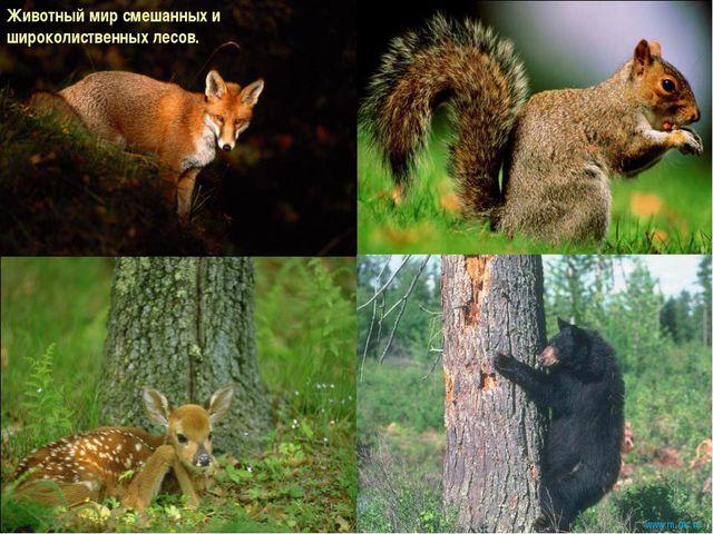 Животный мир смешанных и широколиственных лесов. www.m mc.ru
