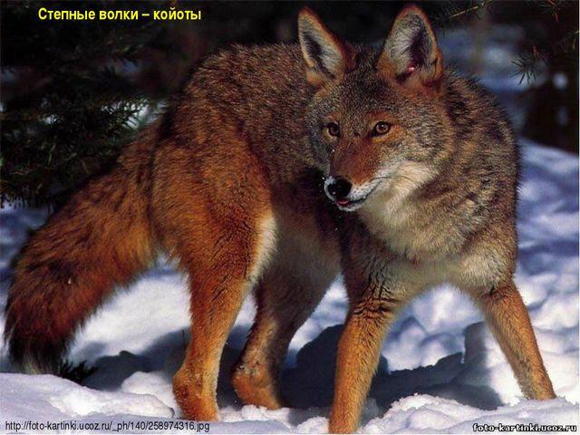 Степные волки – койоты. http://foto-kartinki.ucoz.ru/_ph/140/258974316.jpg