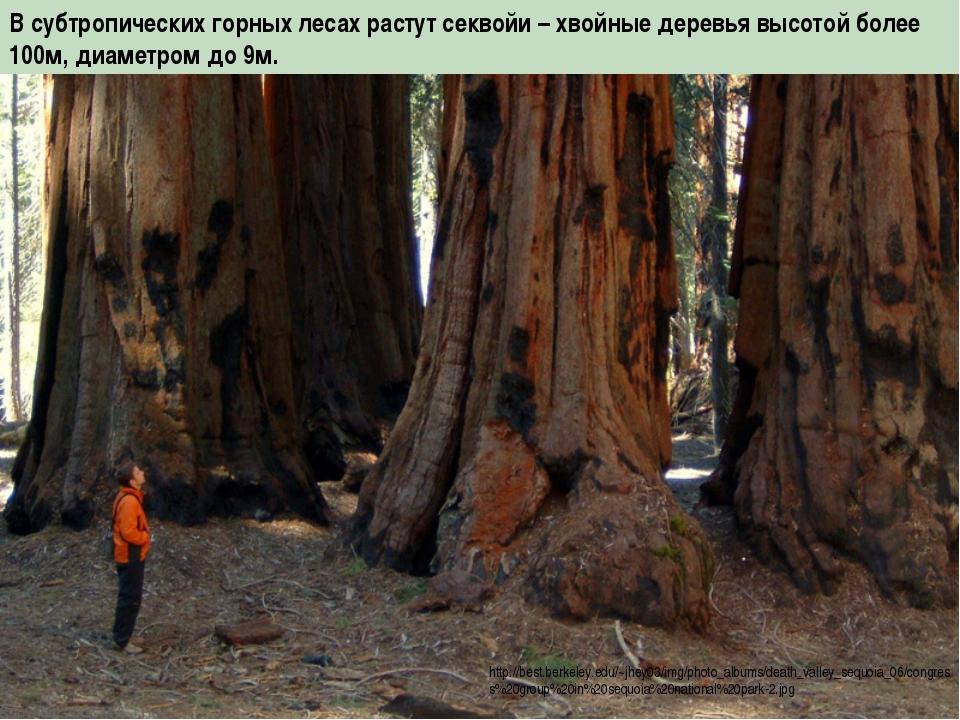 В субтропических горных лесах растут секвойи – хвойные деревья высотой более...