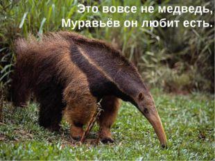 Это вовсе не медведь, Муравьёв он любит есть.