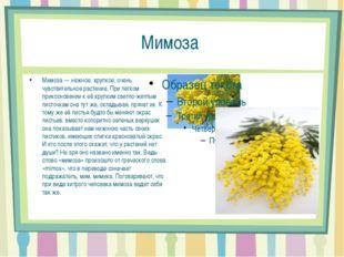Мимоза Мимоза — нежное, хрупкое, очень чувствительное растение. При легком пр