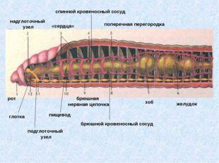 рот надглоточный узел «сердца» спинной кровеносный сосуд поперечная перегород