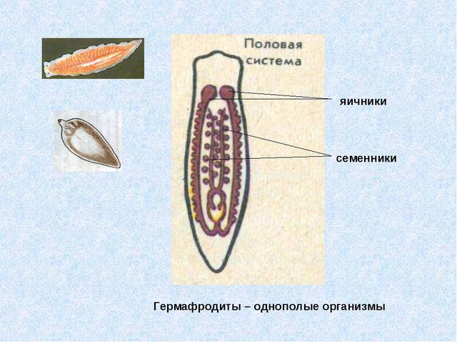 Гермафродиты – однополые организмы яичники семенники
