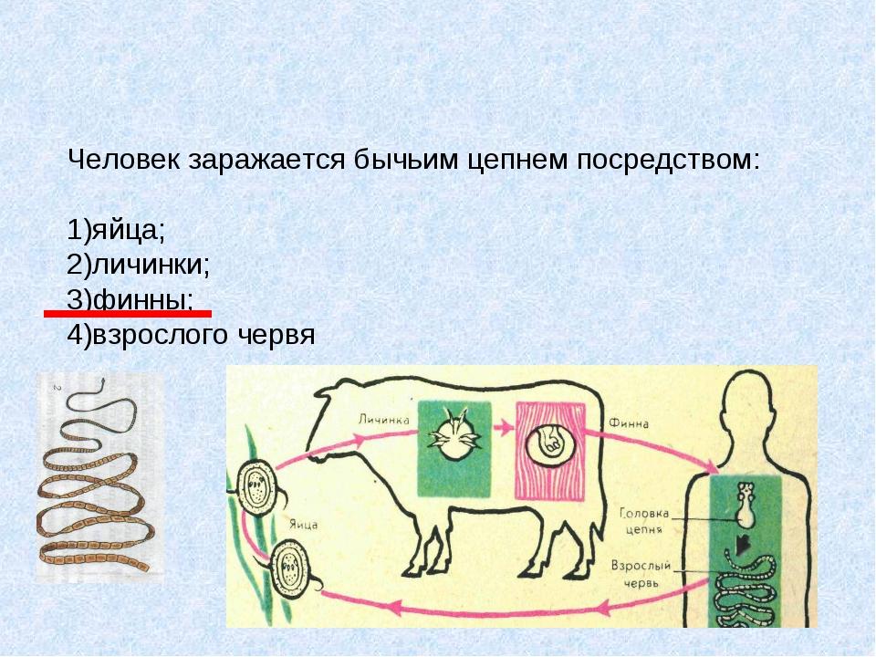 Человек заражается бычьим цепнем посредством: 1)яйца; 2)личинки; 3)финны; 4)в...